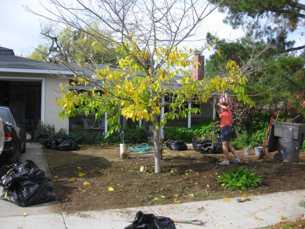 The post-weeding front yard. See all the garbage bags and the big green garbage can? All FULL of weeds!