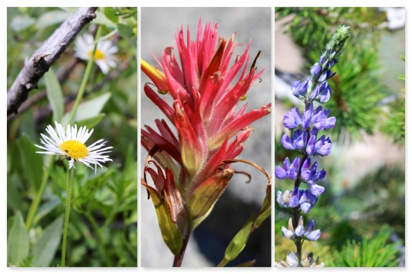 Aster daisy, Indian paintbrush, lupine